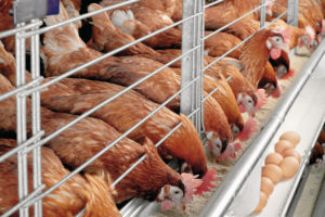 اکسیدین در مرغداری