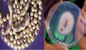 بیماری قارچی بذرزاد
