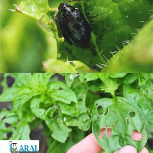 حمله حشرات به گیاهان