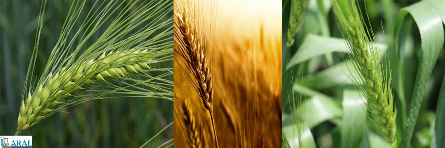 گندم زیبا و سالم