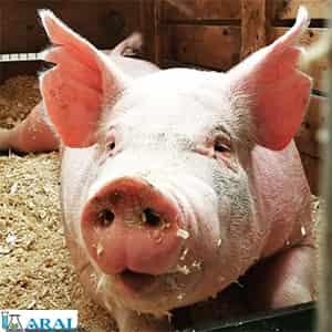 همه گیری آنفولانزای خوکی بیماری مشترک انسان و حیوان