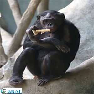 شیوع بیماری های کشنده تنفسی در شامپانزه های وحشی